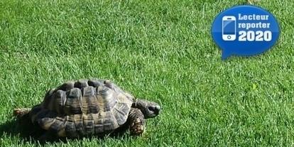 Une tortue égarée squatte un jardin familial - 20 minutes.ch | Rescoop -Faune - Flore - Environnement | Scoop.it