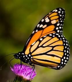 Les Québécois au secours des papillons monarques ! | Mes passions natures | Scoop.it