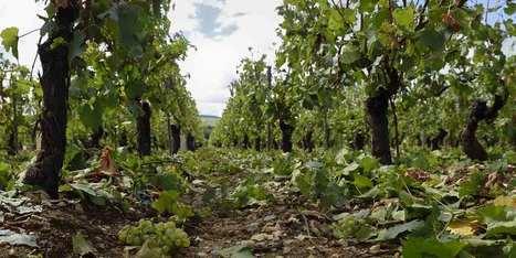 Dans le Chablis, on vendange en urgence pour sauver le cru 2015 | Le vin quotidien | Scoop.it