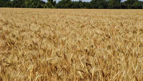 Le blé au cœur de la géopolitique mondiale | Questions de développement ... | Scoop.it