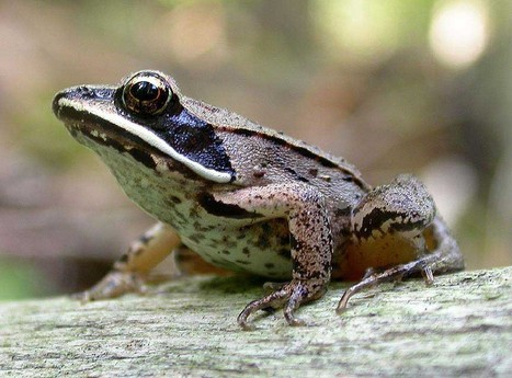 Video: How to Freeze and Defrost a Frog | Scientific life | Scoop.it