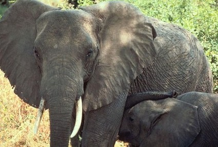 90% of Legal Ivory in China comes from Illegal Sources, EIA | Wildlife Trafficking: Who Does it? Allows it? | Scoop.it