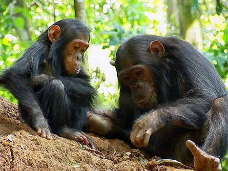 Kingpin Linked to Trafficking of 500 Chimps Gets Maximum Sentence in Guinea | Wildlife Trafficking: Who Does it? Allows it? | Scoop.it
