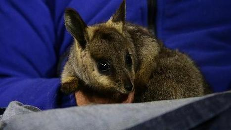 Mammals losing fight to feral cats - The Australian   The Red Centre   Scoop.it