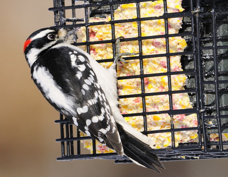 How to ... attract a variety of winter birds with back-yard feeders | Knives, Survival, Bushcraft, and Hunting | Scoop.it