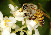 Pollination services represent 10% of world's agricultural production value | Agência FAPESP | Rio+20: Climate - Water - Ecology - People and Sustainability | Scoop.it