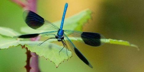 En France, des libellules sous pression | Actualités de l'environnement | Scoop.it