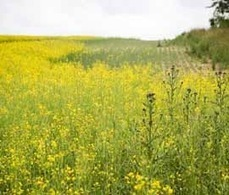 Prediction model gives optimum fungicide timing for sclerotinia - FarmersWeekly | Plant Pest Modeling | Scoop.it