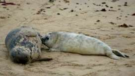 Horsey beach seal births top 1,000 for first time - BBC News | Science And Wonder | Scoop.it