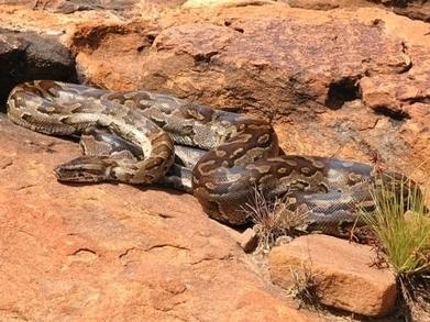 Invasion de pythons en Floride : une étude pourrait aider à juguler le phénomène   Zoologie et Ethologie   Scoop.it