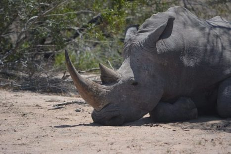 Innovative technology creates safe haven for rhinos | RHINO BIOLOGY & CONSERVATION | Scoop.it