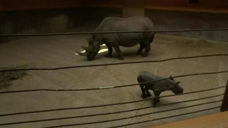 VIDEO. Les premiers pas d'un petit rhinocéros dans un zoo américain | Biodiversité | Scoop.it