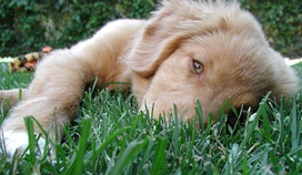 Cleft palate discovery in dogs to aid in understanding human birth defect | Pet-Related News | Scoop.it