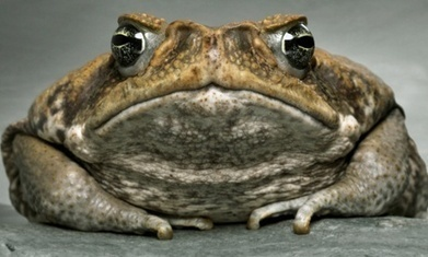 Cane toads on the march: invasive species finds 'ideal niche' in Australia | The cane toad | Scoop.it