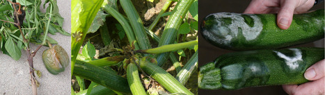 The Potential for Spread of Phytophthora Blight of Cucurbits and ... | Host-pathogen interaction | Scoop.it