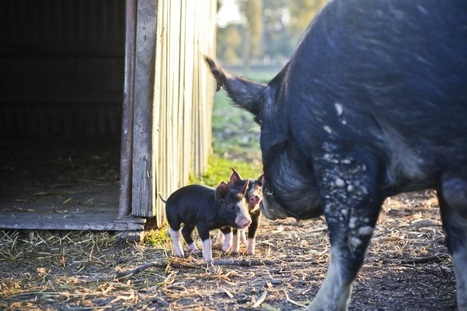 Shopper's Diary: Rare (and Delicious) Pigs from Australia's Bundarra Berkshires: Gardenista   Teaching Agricultural Science - Pigs   Scoop.it