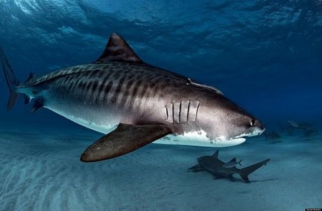 A Big Move for a Small State -- Delaware Bans Shark Fins | Sharks to protect | Scoop.it