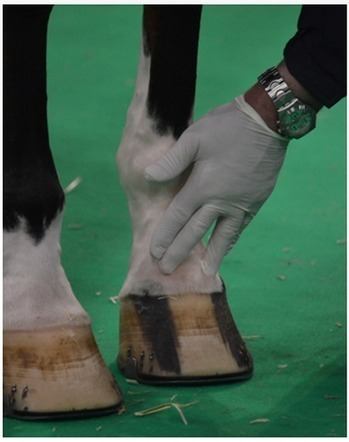 Olympic Hypersensitivity: Cut on coronet forces Canadian horse out of Olympic Games | Equestrian Olympics 2012 | Scoop.it