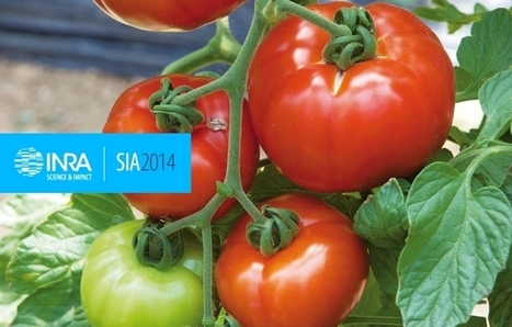 INRA - Garance, tomate du futur ? | HORTICULTURE BOTANIQUE | Scoop.it