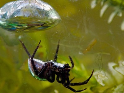 Nature Blows My Mind! The Strange SCUBA-Diving Spider | Bloomfield Hills Schools | Scoop.it