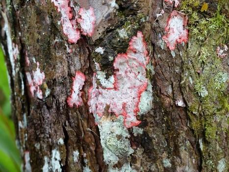 Photo de Lichen : Herpothallon rubrocinctum - Lichen rouge sur tronc - Lichen crustacé - Champignon lichénisé | Faaxaal Forum Photos gratuite Faune et Flore | Scoop.it