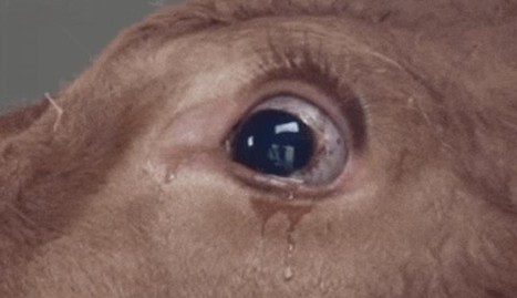 Terrified Cow Sheds Tears ... Until She Realizes Where She's Going | Nature Animals humankind | Scoop.it