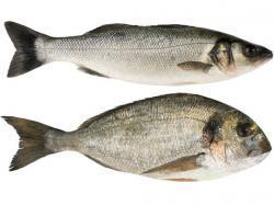 Selonda Greek Sea Bass & Sea Bream Score High With CIA | Aquaculture Directory | News on the Fisheries and Aquaculture field | Scoop.it