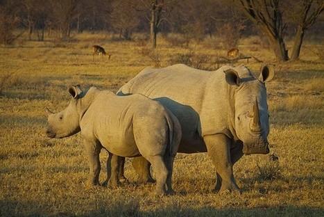 VIETNAMESE MAN ARRESTED WITH 6 RHINO HORNS | SA Breaking News | Rhino poaching | Scoop.it