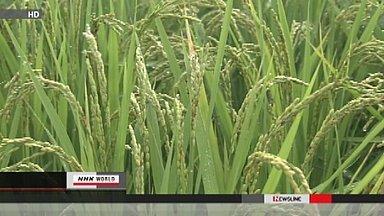[Eng] Des radiations détectées dans du riz | NHK-English | Japon : séisme, tsunami & conséquences | Scoop.it