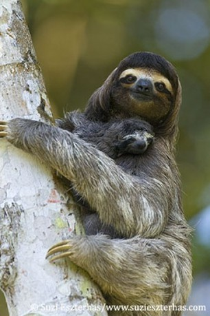 Sloth Sanctuary of Costa Rica | Sloths | Scoop.it