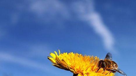Les abeilles sont victimes du manque de biodiversité | Actualités Sciences | Scoop.it