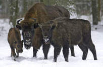 Wild bison with TB may have to be killed in Poland - Chicago Sun-Times | Saving the Wild: Nature Conservation in the Caucasus | Scoop.it