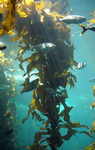Chile encouraging small-scale brown algae farming | Sustain Our Earth | Scoop.it