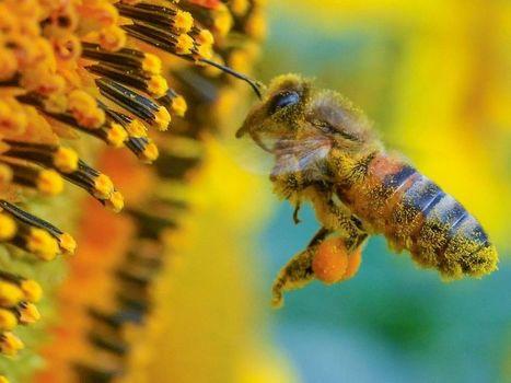 Comment les abeilles choisissent-elles le pollen ? | La recherche en apiculture | Scoop.it