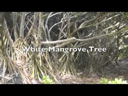 VIDEO- mangrove swamps- plant characteristics, human interaction, issues facing the biome, locations, other information, climate, soil and water quality, animal characteristics | Mangrove Swamp | Scoop.it