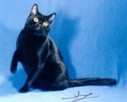 Breed Profile - Bombay Cat | Cats Rule the World | Scoop.it