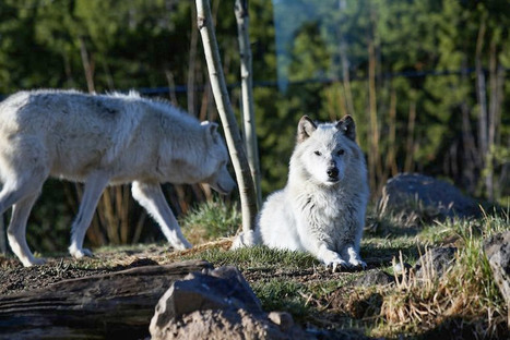 Hunting Wolves Hurts Tourism | Farming, Forests, Water, Fishing and Environment | Scoop.it