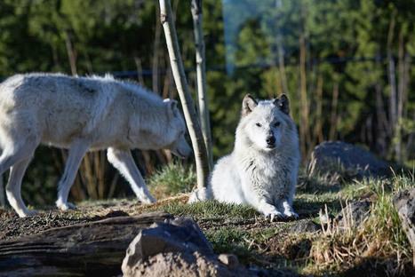 Hunting Wolves Hurts Tourism | GarryRogers Biosphere News | Scoop.it