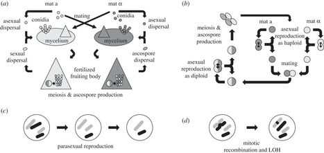 The frequency of sex in fungi - Phil. Trans. R. Soc. B | Host microbe interactions | Scoop.it