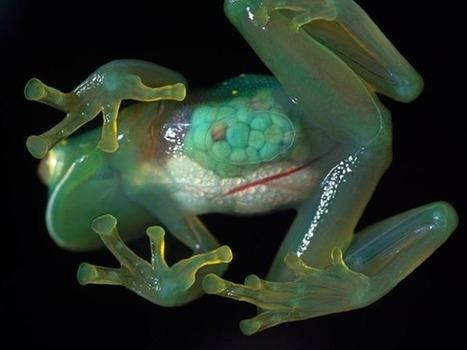 Les grenouilles de verre sont fragiles !   Natura Sciences   Environnement et developpement durable   Scoop.it