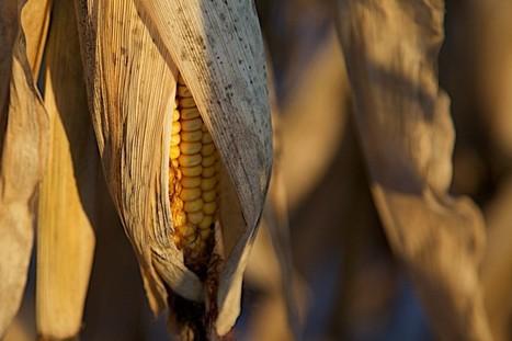 La stratégie diabolique des futures plantes OGM | Culture | Scoop.it