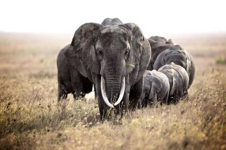 Bring in a total ban on ivory sales, 100 politicians, conservationists and celebrities say | Endangered Species News | Scoop.it