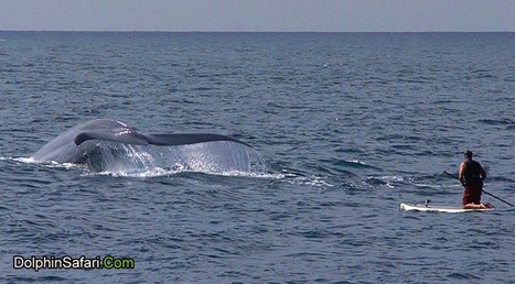 Video: Blue whale surprises paddleboarder - OC Science | Environmental and Animal Rights | Scoop.it