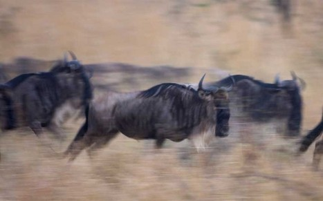 Wildebeest migration? There's an app for that | Tourisme 3.0 | Scoop.it