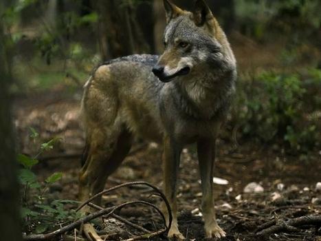 Seguite il lupo Nahar nel Parco dei Monti Sibillini su google maps | Le Marche un'altra Italia | Scoop.it