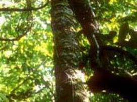 Madagascar : l'étau se resserre autour des trafiquants de bois de rose - ComoresOnline.net | أخبار من جزر القمر | Madagascar Conservation News | Scoop.it