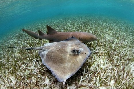 Smooth Dogfish Are Sharks, Too – News Watch | Shark Attacks | Scoop.it