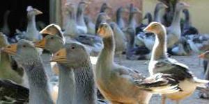 L'esprit de l'oie | Site officiel du Foie Gras du Périgord | Agriculture en Dordogne | Scoop.it