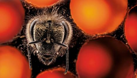 L'abeille miracle va-t-elle sauver le monde ? - National Geographic | AgroSup Dijon Veille Scientifique AgroAlimentaire - Agronomie | Scoop.it