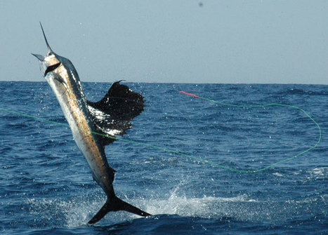Fly Fishing for Sailfish | iFished | fishing | Scoop.it